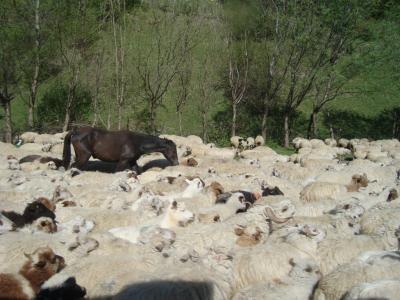 pecore3