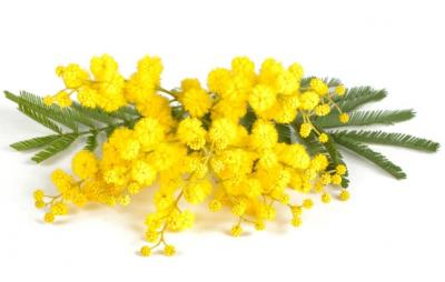 zoom_1_mimosa_acacia_dealbata
